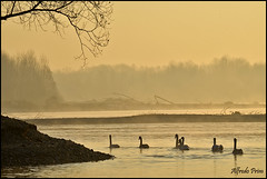 * Swans * (alfvet) Tags: water sunrise river alba fiume ngc natura acqua cigni parcodelticino veterinarifotografi