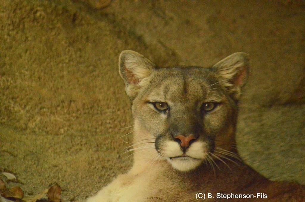 shasta cougar