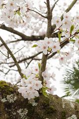 /Prunus yedoensis(Cherry blossoms) (koludabone49) Tags: white plant flower tree japan spring nikon blossom   cherryblossoms           prunusyedoensis d5100