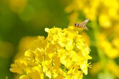 Working (Yam@chan) Tags: yellow japan blossom rape bee honey