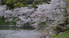Good morning! (joka2000) Tags: pink green water spring pond  cherryblossom sakura  fallenpetal