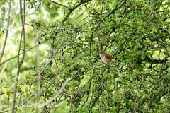 Nightingale (Rich27B) Tags: nature birds spring wildlife birdsong cambridgeshire nightingale nikond200 paxtonpits