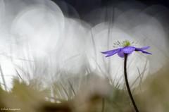 Hepatica nobilis (- Man from the North -) Tags: flower macro nature closeup reflections finland spring nikon dof bokeh tamron westcoast springflower ostrobothnia flowerphotography tamron90mm28macro nikond7000