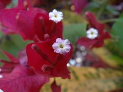 DSC04072 (familiapratta) Tags: flowers flores flower nature iso100 sony natureza flor hx100v dschx100v