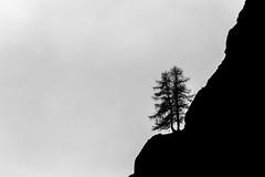 Larici in silhouette (Luciano Fochi) Tags: silhouette valledaosta granparadiso valsavaranche larici