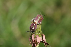 mating shieldbugs(ex[plored) (andy_porter69) Tags: andy x rated
