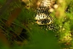 Hierophis viridiflavus (AlexandreRoux01) Tags: jaune snake western whip et verte couleuvre viridiflavus hierophis