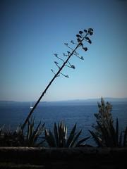 Split, Croatia (tonigirl_cro1) Tags: blue sea sky sun green nature beauty outdoor croatia olympus more toni split agava priroda adriatic adriaticsea hrvatska dalmatia dalmacija nebo obala jadransko zeleno sunce plavo jadranskomore ljepota tonigirl olympuse420