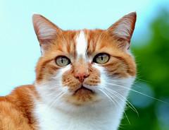 The Feline  Portrait (kevindaly24) Tags: cats nature nikon18200vrlens nikonprofessional nikond7000dslr