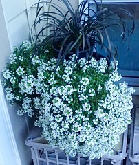Alyssum (I Flickr 4 JOY) Tags: white whiteflower squamish alyssum blackgrass blackmondograss sweetsmelling trailingflowers