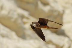 Eleonora's Falcon (Falco eleonorae (Gene, 1839)) (Cyprus Bird Watching Tours - BIRD is the WORD) Tags: falcoeleonorae bird nature flickr canon cyprus colour color sunny bright wildlife falcon cyprusbirds cyprusbirding cyprusbirdwatching cyprusbirdingtours cyprusbirdwatchingtours cyprusguidedtours birdmigration europeanbirds ecotours cyprusecotours cyprussafari safari highquality birding birdwatching nois noimagestabilizer handheld birdingtourscyprus birdwatchingtourscyprus animal outdoor professionalphotography westernpalearctic nationalgeographic bbcearth birdwatch rspb birdlifeinternational twitch art ethicalphotography