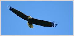 ``` Screaming Eagle Flyover ``` (Wolverine09J ~ 1 Million + Views) Tags: baldeagle raptor flyover avianwildlife frameit~level01 shadyoakandeagles