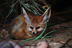 cute as....... (gshaun12) Tags: nature animals zoo bokeh wildlife c fox fantasticnature