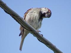 Sparrow Look (kendoman26) Tags: bird fuji sparrow fujifinepix topazsoftware topazdetail fujifinepixs1