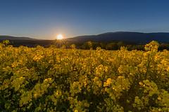 Colza (seb.montagny) Tags: flowers blue sky sun sunlight mountains yellow sunrise canon landscape switzerland coucherdesoleil colza 2016 eos5dmarkiii