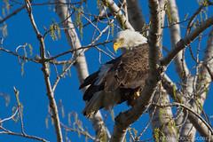 Bald Eagle (Doug Scobel) Tags: eagle bald marsh magee haliaeetus leucocephalus