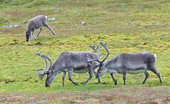 097 Day 3 Svalbard (brads-photography) Tags: grass walking reindeer three wildlife svalbard arctic caribou grazing spitsbergen rangifertarandusplatyrhynchus ingeborgfjellet
