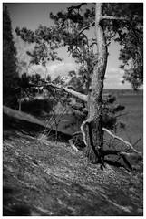 Pine on the rock (yar_electro) Tags: zeiss nikon 9 jena scan 150 mc carl dslr rodinal min fg 5018 fomapan pancolar 100135