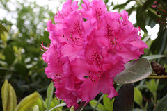 IMG_3029.JPG (robert.messinger) Tags: flowers blurred rhodies mediumquality