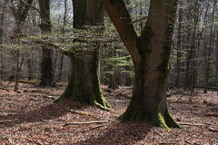 Germany - Reinhardswald (Michael.Kemper) Tags: trees tree backlight forest canon germany deutschland eos is spring hessen l usm wald bume baum ef f4 frhling gegenlicht hesse 6d reinhardswald 2470 canoneos6d canonef2470f4lisusm