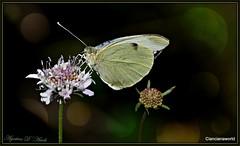 Particolari... naturali - Maggio-2016 (agostinodascoli) Tags: macro nature nikon fiori nikkor piante sicilia farfalle cianciana