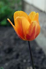 Tulp (Jaan Keinaste) Tags: flower estonia pentax tulip eesti lill k3 tulp tipukla pentaxk3