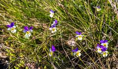 4Y1A7939 (Ninara) Tags: sea summer flower nature finland island helsinki wildflower kes ketoorvokki vallisaari historiakohde sotilassaari