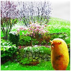 Kartoffel im Garten (stefanielaiminger) Tags: schnee snow kartoffel erdapfel kartoffelimgarten schneeimfrhling frhling kevt weitwinkel potatoe perunat surreal traumwelt surrealism