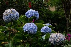 _DSC0932 (Roy Prasad) Tags: blue flower nature floral garden sony kerala bloom hydrangea botany prasad munnar rx10 royprasad rx10m2