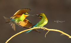 Blue Tailed Bee Eater Fight (Wasif Yaqeen) Tags: pakistan nature birds animals outdoor wildlife animalplanet nationalgeographic birdshabitat bluetailedbeeeater wasif birdsofpakistan wildlifeofpakistan pakistanwildlife pakistannature birdsinnaturalhabitat wasifyaqeen wasifyaqeenphotography bluetailedbeeeaterfight