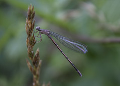 174/366 Damselfly (zodia81) Tags: wv westvirginia damselfly morgantown 2016 aphotoaday 366 dailyphotograph 365project aphotoeveryday wildandwonderful coopersrocktroutpond