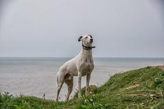Sea Dog (Shastajak) Tags: cliff dog greyhound seascape sql bullterrier sighthound englishchannel rehomed rescued lurcher crossbreed gazehound iknowitsasillyname pronouncedsequel littledoglaughedstories