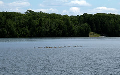Geese on Big Arbor Vitae Lake (BenG94) Tags: wisconsin canon geese northwoods arborvitae 60d canon60d bigarborvitaelake