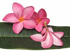 Frangipani Decoration for Table 2 (Christine Brooks ***) Tags: pink white beauty leaves yellow idea florida plumeria miami fallen fragrant tropical frangipani isolated tabledecorations