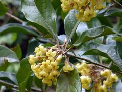 Pittosporum revolutum Aiton 1811 (PITTOSPORACEAE) (helicongus) Tags: spain pittosporum pittosporaceae pittosporumrevolutum jardnbotnicodeiturraran