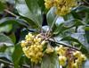 Pittosporum revolutum Aiton 1811 (PITTOSPORACEAE) (helicongus) Tags: spain pittosporum pittosporaceae pittosporumrevolutum jardínbotánicodeiturraran