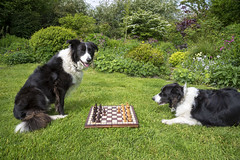 Clever Collies can play chess (Keartona) Tags: collie bordercollie dog poppy playing chess outdoors garden summer lawn grass england