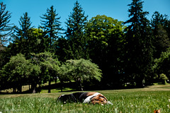 6/24/16 Photo 237 (GarrettHerzig) Tags: trees dog grass fuji connecticut norfolk basset bassethound 365project x100t fujix100t