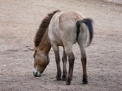 Przewalski-Pferd (Equus ferus przewalskii) P1000992 (martinfritzlar) Tags: horse zoo pferd tiergarten tier nrnberg equus equidae sugetier ferus przewalskipferd wildpferd unpaarhufer przewalskii