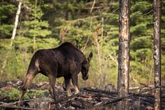 Prescribed Burn Area - Superior National Forest. (TofteTom) Tags: nature minnesota wildlife moose northshore northwoods wildlifephotography alcesalces minnesotamoose