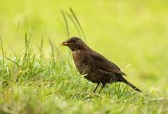 Blackbird (.Hogan.) Tags: uk wild nature birds nikon wildlife birding avian 300mmf4 sandyhills d810 dumfiresgalloway