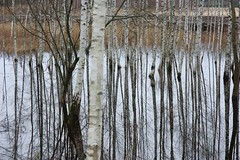 living in overflow III (Mindaugas Buivydas) Tags: trees winter abstract color reflection tree forest december mood moody calm swamp birch bog lithuania lietuva tyrmikas tyraiforest livinginoverflow