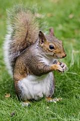 Nom Nom Nom Nom (redfibres) Tags: ef70200mmf4lisusm canon eos 1000d clumberpark nottinghamshire uk squirrel eating nuts peanuts closeup