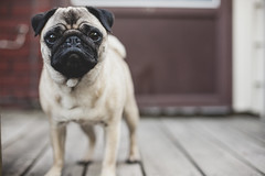 ruby, guardian of the back yard (angiemckaig) Tags: pug ruby pugs