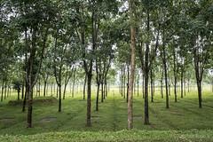 Srimangal-6315 (BohemianTraveler) Tags: asia tea bangladesh srimangal srimongol sreemangal
