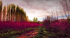 . (Vieparamsberlon.) Tags: pink color texture fruit garden photo spring blossoms hdr edit