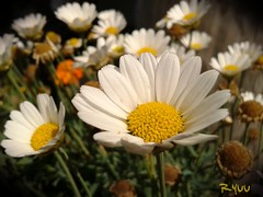 lovely daisies in a pot (Ryuu) Tags: daisies daisy flowers white petals yellow macro floral composition flower closeup bunch nature plant focus dof