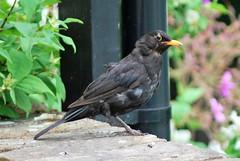 Been out on the tiles? (flowergirlaaa) Tags: bird garden feathers blackbird scruffy ruffled