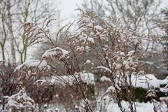ckuchem-1149 (christine_kuchem) Tags: blten eiskristalle frost garten kristalle nahrung naturgarten samenstnde stauden vogelnahrung vogelschutz vgel wildgarten winter wintergarten winternahrung naturbelassen naturnah natrlich reif schnee berzogen