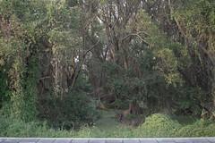 Bangkachao01-Miti Ruangkritya (bigtreesproject) Tags: 447850620339 66835548622 mitiruangkritya miti139hotmailcom mitimiticom wwwmiticom